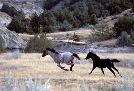 horses running free. Running Free Mustangs